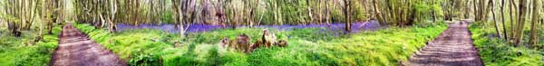 Bluebells, Crundale woods, Kent, UK